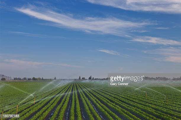 Field of cilantro plants with spray irrigation