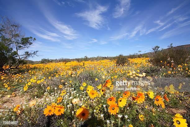 field of colourful namaqualand daisies (dimorphotheca sinuata) scenic - ナマクワランド ストックフォトと画像
