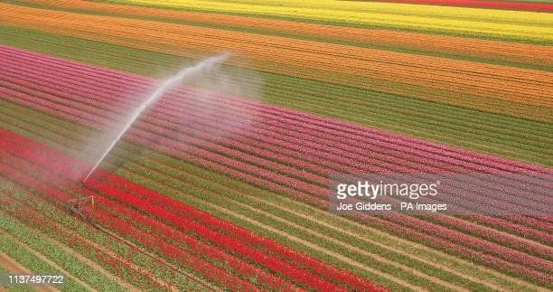Field of colourful tulips come into bloom near King's Lynn in Norfolk, as Britain sees warmer spring weather this week, with temperatures reaching up...