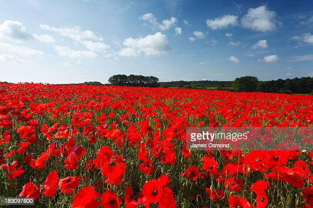 field of common poppies - poppy stock pictures, royalty-free photos & images