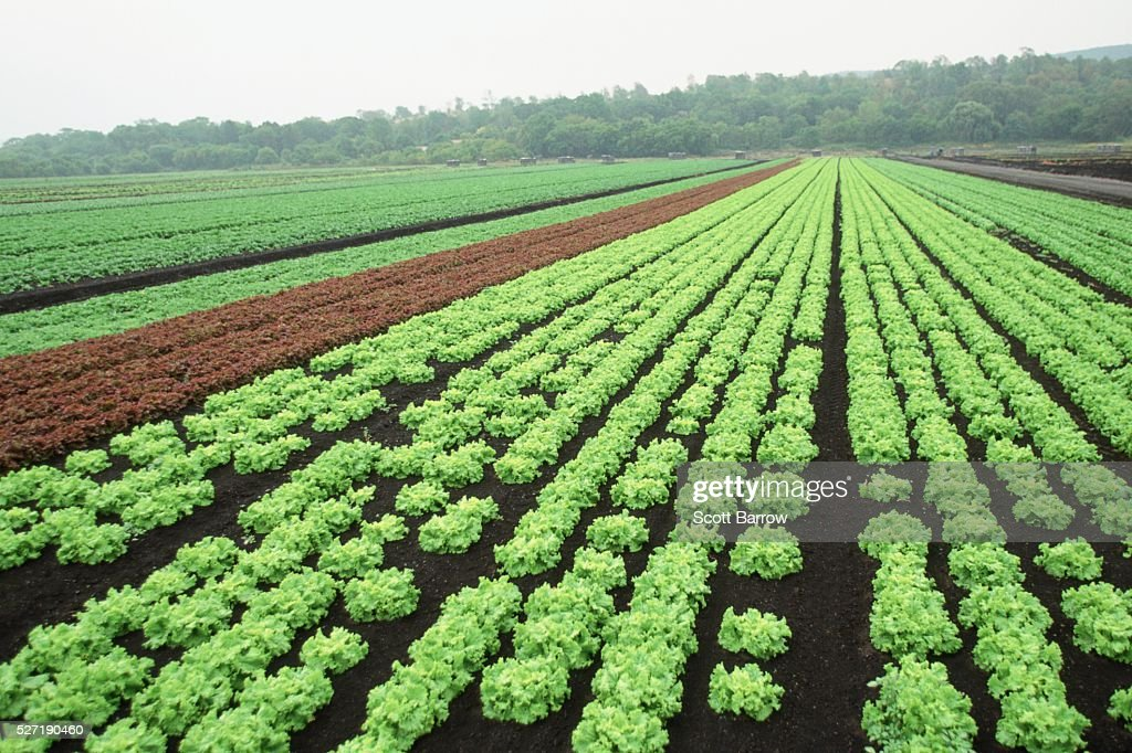 Field of coral lettuce : Stock Photo