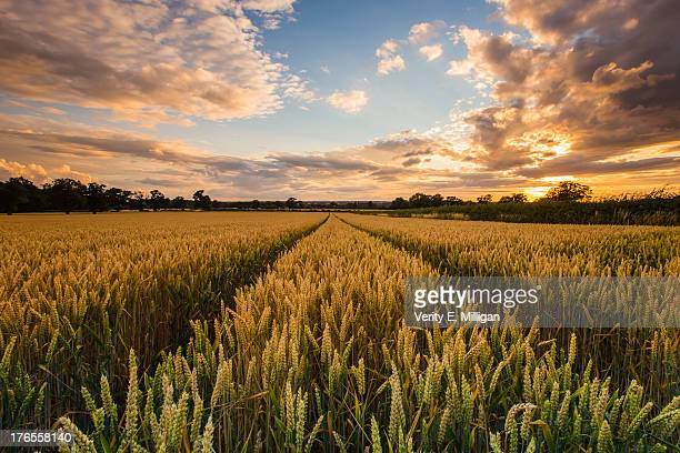Field of Corn at Sunset