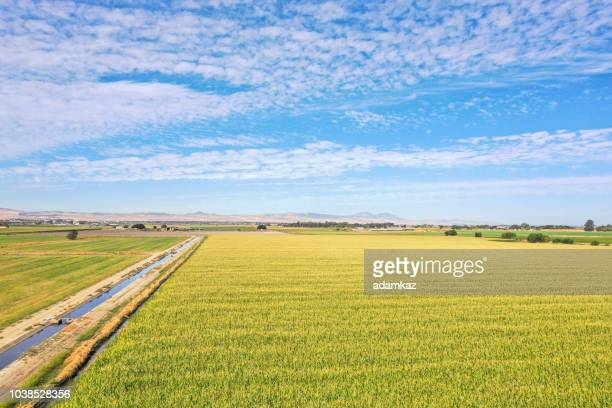 field of corn - san joaquin valley stock pictures, royalty-free photos & images
