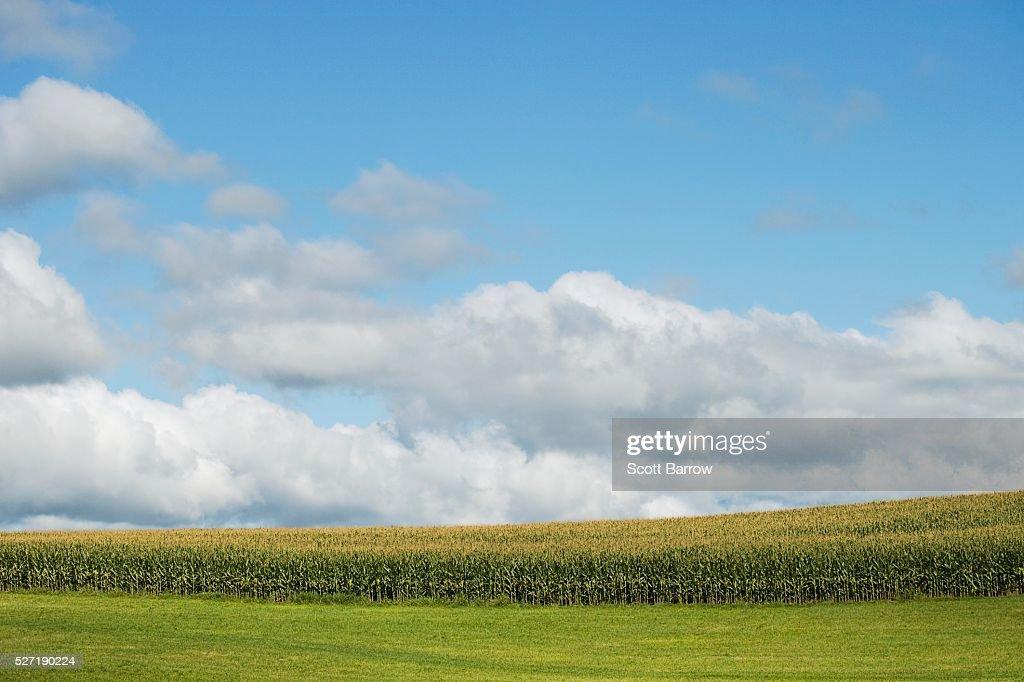 Field of corn : Foto de stock