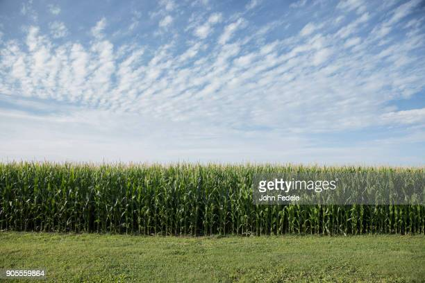 field of corn - corn cob stock pictures, royalty-free photos & images
