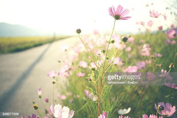 Field Of Cosmos Flowers Along Road