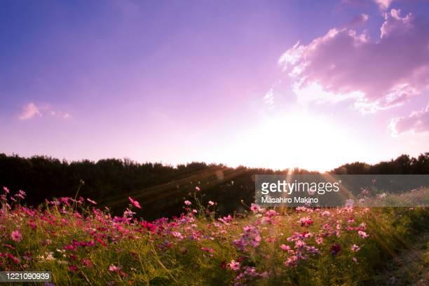 field of cosmos flowers - 自然 ストックフォトと画像
