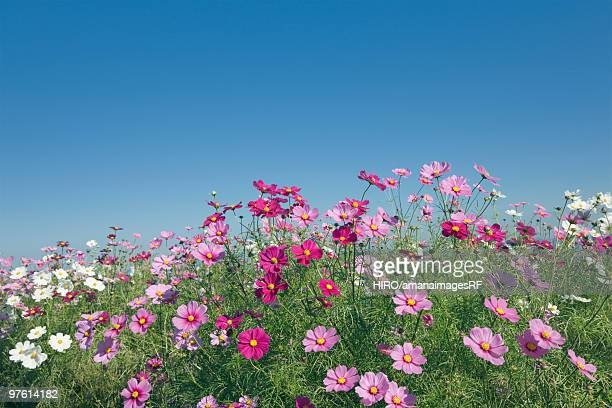 Field of cosmos under a clear blue sky, Awaji, Hyogo Prefecture, Japan