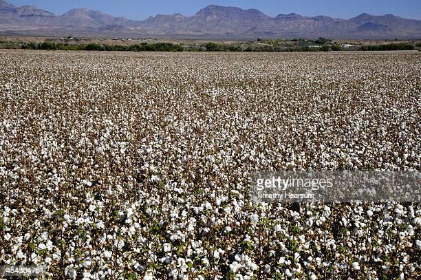 field of cotton with mountains beyond - timothy hearsum bildbanksfoton och bilder