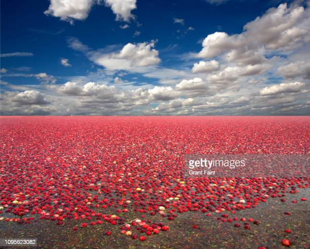 field of cranberries. - cranberry harvest stock pictures, royalty-free photos & images