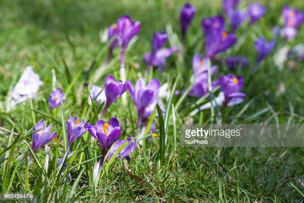 A field of crocus flowers blooming in the springtime by the Wawel Castel in Krakow Poland on 1 April 2017