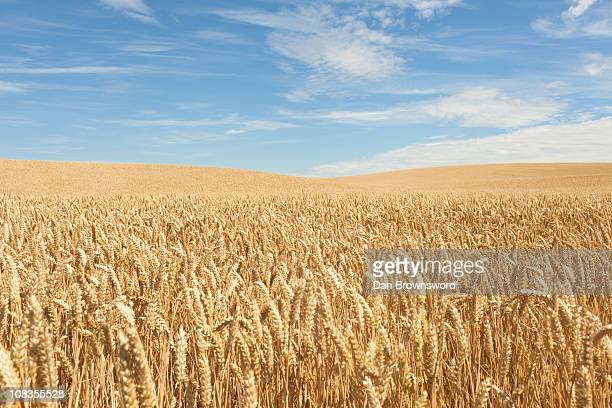 field of crops - wheat stock pictures, royalty-free photos & images