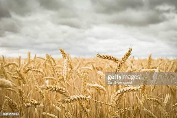 field of crops - weizen stock-fotos und bilder