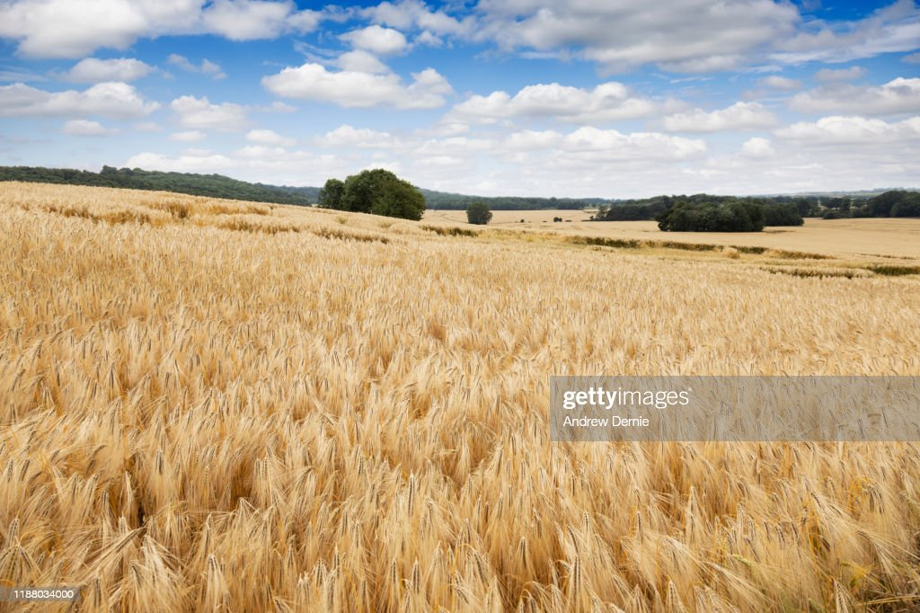 Field of Crops : Stock Photo