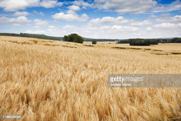 field of crops - andrew dernie stock pictures, royalty-free photos & images