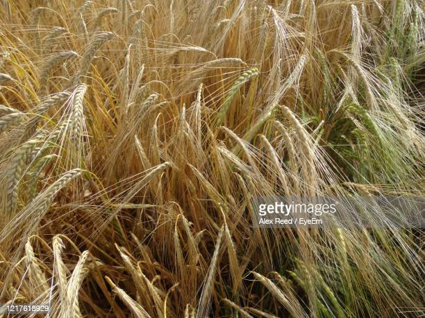 field of crops. - alex reed stock pictures, royalty-free photos & images