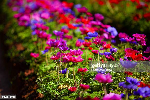 field of cultivated colourful and vivid Anemone flowers.