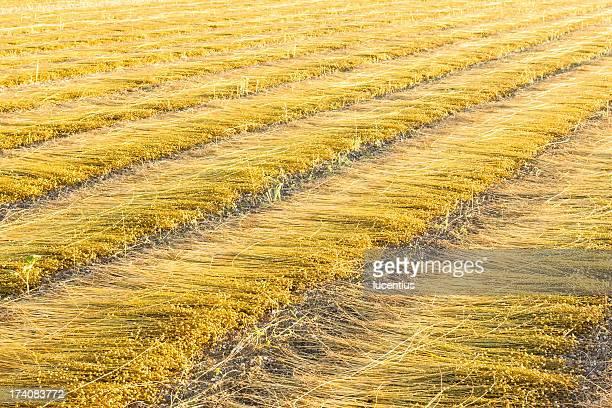 Field of cut flax in France