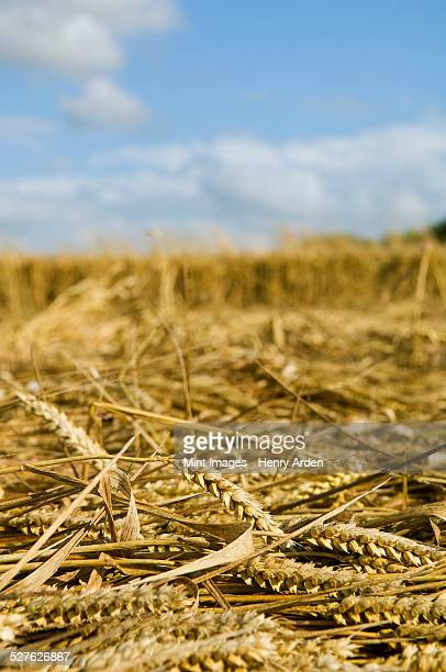 a field of cut straw and seedheads after the harvest of a ripe crop. - after stock photos and pictures