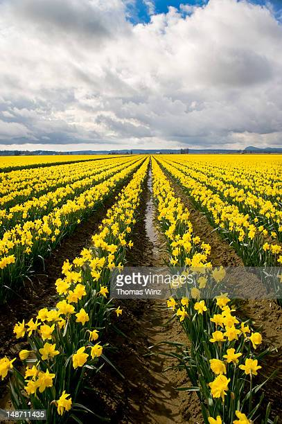 field of daffodils. - field of daffodils stock pictures, royalty-free photos & images