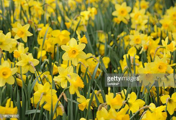 field of daffodils - daffodils stock photos and pictures