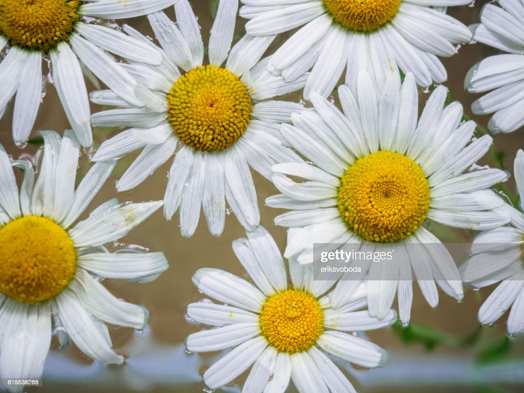 Field Of Daisies Floating In The Water Chamomile Top View With Small