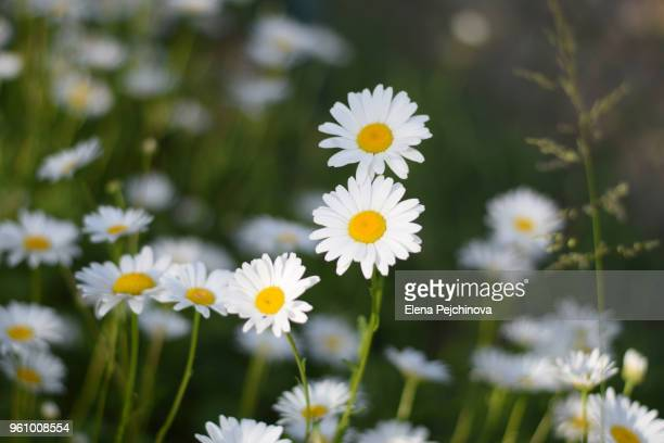 field of daisies - uncultivated stock pictures, royalty-free photos & images