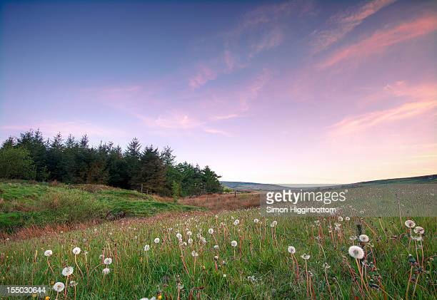 field of dandelions, west yorkshire - simon higginbottom stock pictures, royalty-free photos & images