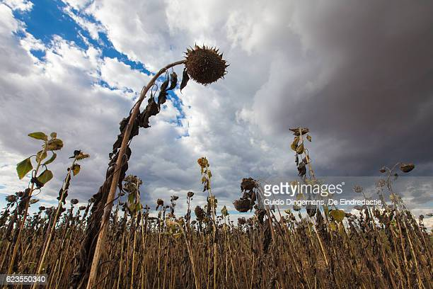 field of dead sunflowers in malawi during the drought - un food and agriculture organization stock pictures, royalty-free photos & images