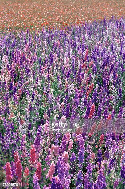 a field of delphiniums - delphinium stock pictures, royalty-free photos & images