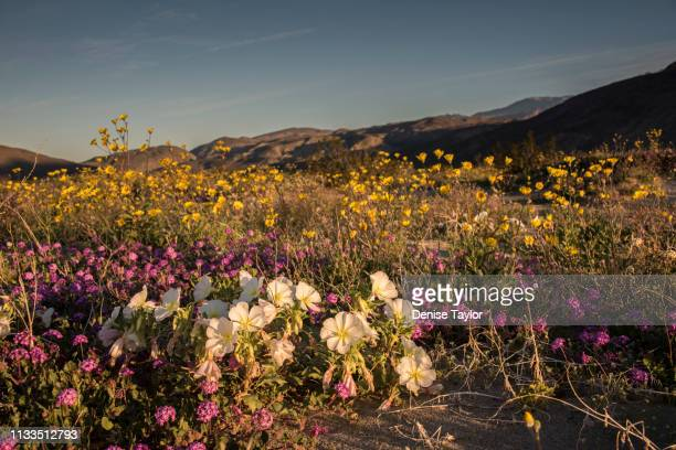 field of desert wildflowers during superbloom at sunrise in warm light - state park stock pictures, royalty-free photos & images
