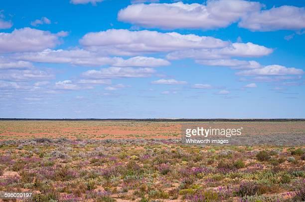 Field of desert wildflowers, outback Australia