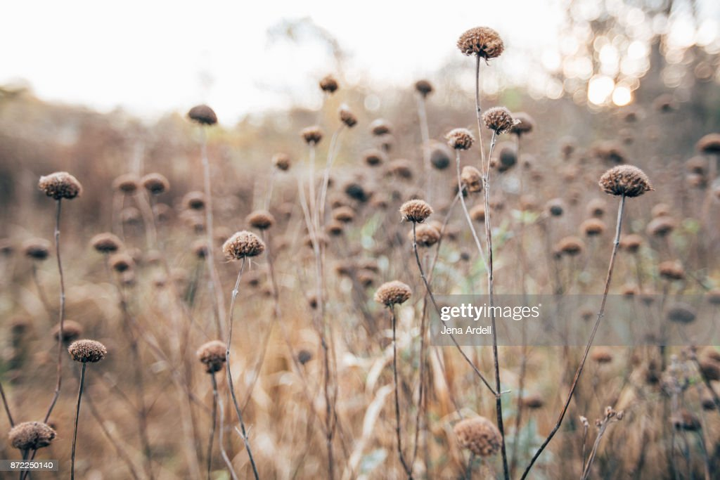 Field of Dried Flowers : Stock Photo