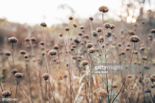 field of dried flowers - beige stock-fotos und bilder