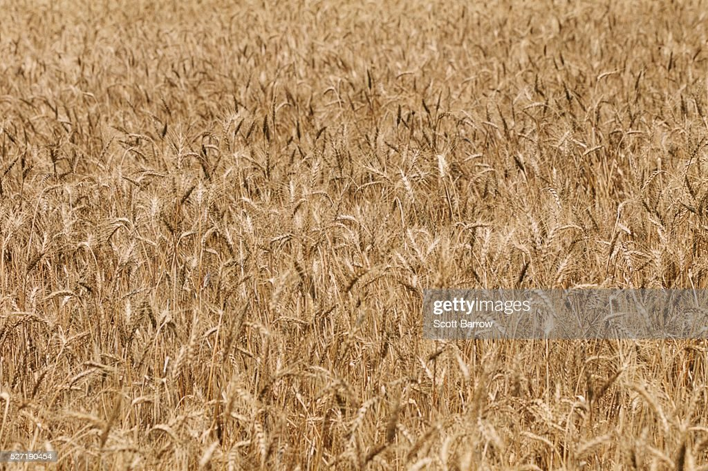 Field of dry wheat : Stock Photo