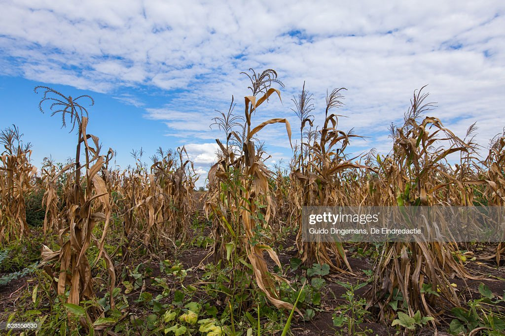 Field of dying maize plants in southern Malawi : Stock Photo
