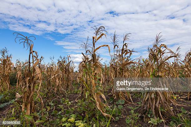 field of dying maize plants in southern malawi - dürre stock-fotos und bilder