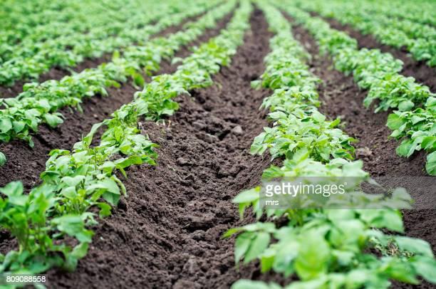 Field of early growth potato plants