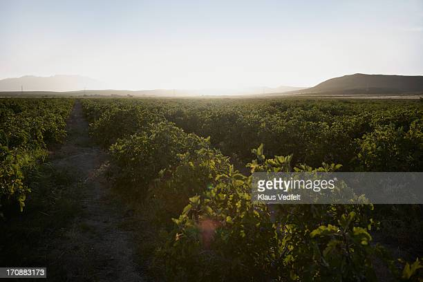 Field of fig trees at sunrise