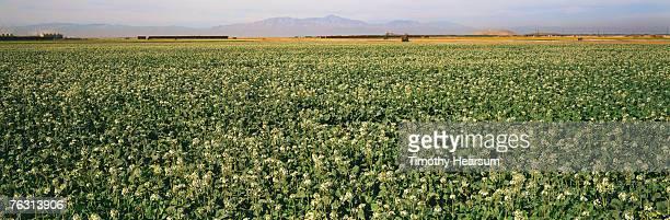field of flowering choy with mountains in background - timothy hearsum bildbanksfoton och bilder