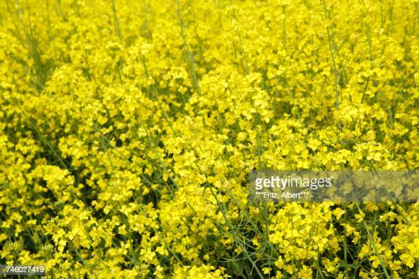 a field of flowering rape (macro zoom) - zoom background stock pictures, royalty-free photos & images