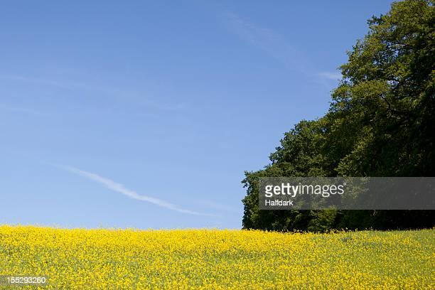A field of flowering rapeseed (Brassica napus)