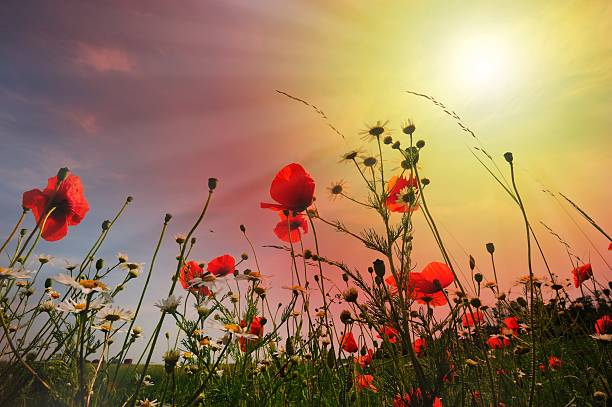 Field Of Flowers Against Low Sun And Sky Fine Art Prints Photoscom