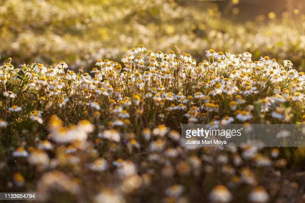field of flowers against the light.  andalusia.  spain - arbusto stock pictures, royalty-free photos & images