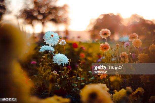 field of flowers at sunset, germany - printemps photos et images de collection