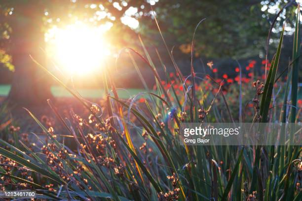 field of flowers at sunset - greg bajor stock pictures, royalty-free photos & images