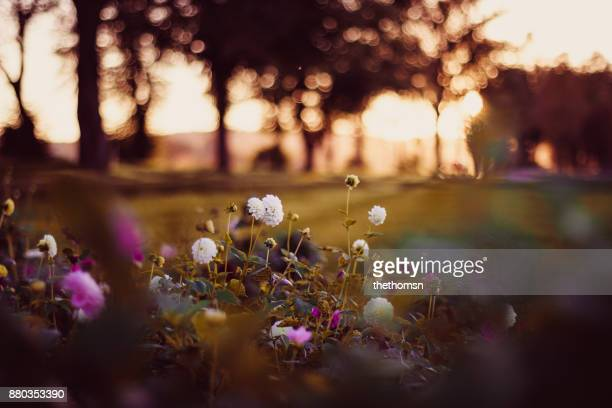 field of flowers during sunset, germany - jardin fleuri photos et images de collection