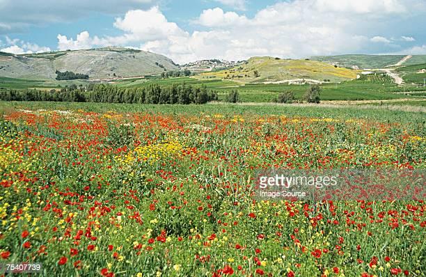 Field of flowers in israel