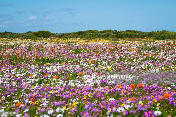 field of flowers in rural landscape - wildflower stock pictures, royalty-free photos & images