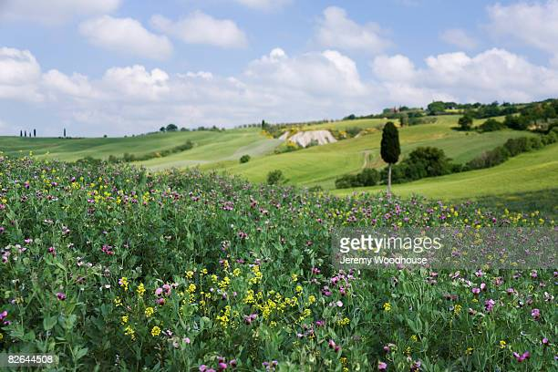 Field of Flowers in Tuscan Country